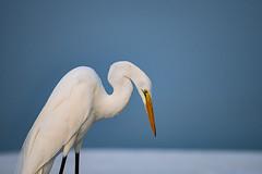 Not awake yet... (Beth Reynolds) Tags: great egret morning sunrise fort desoto preserve park beach shore gulf graceful bird florida