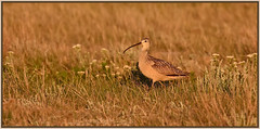 Long billed curlew. (Ludo (Lone wolf) Bogaert.) Tags: xp