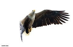 White Tailed Sea Eagle J78A0326 (M0JRA) Tags: scotland isles mull sea water waves boats reflections land birds holidays vacations sky clouds sunset sun deer fields roads