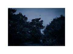 ravens  #921 (lynnb's snaps) Tags: bw birds 35mm nikon d76 hp5 f80 deewhy 2014 trees film nature monochrome ilfordhp5 kodakd76 afnikkor50mmf18d sydney australia ishootfilm wetlands ravens filmfilmforever filmneverdie