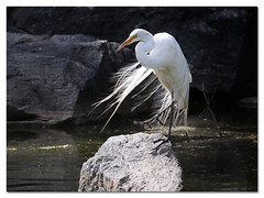 Great Egret (Redtail10025) Tags: great egret water fowl shorebirds nyc morningside heights park pond nature wildlife white feathers