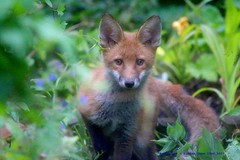 Curious and Curiouser (law_keven) Tags: fox foxes redfox foxcub catford london england wildlife wildlifephotography photography