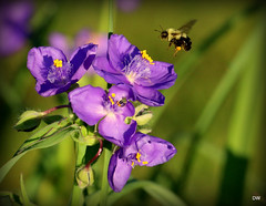 IMG_5100 (eos2315) Tags: spiderwort bee inthegarden greenmead flowers nature wildlife