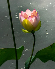 2019 Lotus flowers (shinichiro*) Tags: 20190618dsc1618 2019 crazyshin nikon1v3 v3 1nikkorvr70300mmf4556 june summer flower macro lotus ハス gyoda saitama japan 48118244882 5315137 201906gettyuploadesp