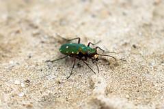 Green Tiger Beetle! (RiverCrouchWalker) Tags: greentigerbeetle dersinghambog norfolk june summer 2019 sand sandringham cicindelacampestris insect invertebrate beetle