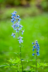 Jingle Blues (Chancy Rendezvous) Tags: flowers bluebell blue bells green grass garden sturbridge massachusetts field nikon nikkor d700 nikond700 flora wildlarkspur larkspur delphinium