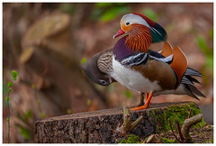 Mandarin Ducks (Brian P Slade Photography) Tags: mandarin ducks birds birdwatching birding avian ornithology wildlife wildlifephotography ukwildlife uk nature berkshire animals mammals canonphotography canon sigma sigmasports brianpslade brianpsladephotography colourful male female feathers stump spring