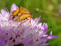 ASOMADO AL BALCÓN (HE WAS ON THE BALCONY) (Pedro Muñoz Sánchez) Tags: macro macrofotografia macrophotography flower bug flor bicho monday lunes colors nature