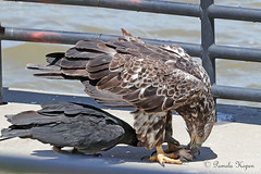 Trying to sneak a bite - Black vulture inching under juvenile Bald eagle eating fish (pakart62) Tags: