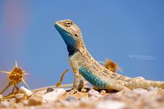 Trapelus savignii (Matthieu Berroneau) Tags: sony alpha ff 24x36 macro nature wildlife animal fe sonya7iii sonya7mk3 sonyalpha7mark3 sonyalpha7iii a7iii 7iii 7mk3 sonyilce7m3 herp herping trip israel israël reptile reptilian reptilia lizard lézard trapelus savignii trapelussavignii hardon holot hardonholot egyptian sand agama egyptiansandagama g oss 55 6fmoss sonyfe100400mmf4556fmoss sonyfe100400mmf4 100400 gm sony100400gm sonyfe100400mmf4556gmoss
