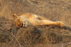 She is fast asleep  ( Lioness ) (Pixi2011) Tags: lions krugernationalpark southafrica africa wildlifeafrica wildcats wildlife wildanimals animals nature