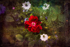 Little red rose - heavily textured (judy dean) Tags: judydean 2019 garden rose red single textures ps nigella