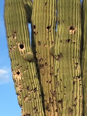 IMG_7156 (ombledroom444) Tags: saguaro sahuaro cactus succulent plant desert arizona holes holy blue green sky bluesky phoenix spiky closeup