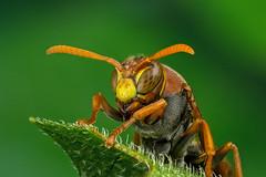 Alert (affectatio) Tags: macro mpe65 bug insect wasp paperwasp australianpaperwasp alert 6d canon6d focusstack zerene zerenestacker