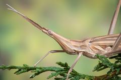 Saltamontes narigudo (Truxalis nasuta). (Carlos García-Donas Fernández) Tags: verde