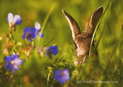 Rabbit among the flowers (Ade Ward Phototherapy.) Tags: wales sunlit grass colours cardiff forestfarm wildlife nature flowers rabbit
