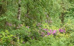 Rhododendron, Pant-du, N/Wales, UK, 2019. (Phlips photos) Tags: woodland wales nikond7500 tokina100mmmacro woods rhododendron wildflowers naturesdetail 2019 northwales pantdu tokinaaf100mmf28macro