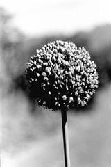 Lollipop (Konakilo) Tags: cosina helios kodak d76 fomapan ajo garlic flower contrast flor