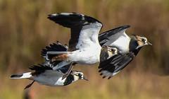 Lapwing  F00720 Burton Mere D210bob DSC_5373 (D210bob) Tags: lapwing f00720 burtonmererspb d210bob dsc5373 nikond7200 birdphotography birdphotos naturephotography naturephotos nikon wildlifephotography nikon200500f56 cheshire rspb