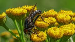 Fliege auf Rainfarn (Oerliuschi) Tags: fliege rainfarn makro olympusm60 lumixgh5 natur pflanze insekten