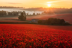 Valley of Vermilion (Vemsteroo) Tags: poppies poppy poppyfields sunrise morning trees nature landcape beautiful light red vermilion worcestershire severntrent mist atmospheric ethereal canon 5d mkiv 70200mm leefilters leefilters100 circularpolariser ndgrad