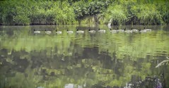 Follow the Leader (Mr.LeeCP) Tags: summer geese line follow bothell washington reflection water river