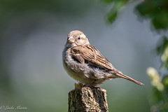 Sparrow (Linda Martin Photography) Tags: bird dorset passerdomesticus sparrow wildlife animal uk nature naturethroughthelens coth coth5 ngc alittlebeauty