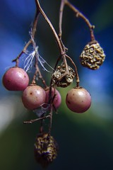 Dried uneatable berries (JBM.photography) Tags: macrophotography lens distortion color rx0ii rx0 sony sonyrx0m2 sonyrx0ii plant berries berry macro close nature