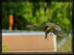 Frühstück. ... Mahlzeit (tingel79) Tags: turmfalke kestrel vogel birds birdinthesky natur nature vogelimflug berlin germany outdoor day wildlife