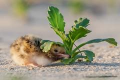 Nope, I don't see you (Kevin E Fox) Tags: commontern tern chick hatchling longisland nassaucounty nickersonbeach lidobeach newyork ny bird birdwatching birding birds birdphotography sigma150600sport sigma shorebirds shorebird nature nikond500 nikon beach sand