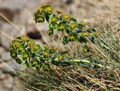 Euphorbia nevadensis (Wild Chroma) Tags: euphorbia flora spain sierranevada nevadensis euphorbianevadensis