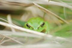 Rainette verte - Hyla arborea (Enora Gonidec) Tags: frog rainette vert nature photographer