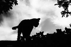 on the prowl (stephubik) Tags: cat fritzi silhouette black white blackandwhite
