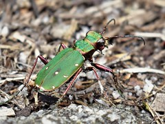Green Tiger Beetle (doranstacey) Tags: nature wildlife insects green tiger beetle peak district moors nikon d5300 nikkor 1855mm macro white edge