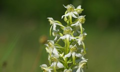 Greater Butterfly Orchids - Platanthera chlorantha (favmark1) Tags: platantherachlorantha greaterbutterflyorchids kentorchids britishorchids wildorchids kent orchids