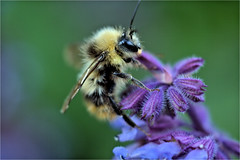 salvia and bee.......... (atsjebosma) Tags: bee flower bloem salvia blue blauw macro garden tuin summer june juni atsjebosma groningen thenetherlands zomer bij coth5 ngc