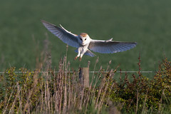 Settling Barn Owl (Steve (Hooky) Waddingham) Tags: animal countryside coast bird british barn nature northumberland flight wild wildlife prey planet owl