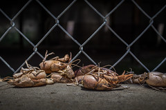 street lunch (Mr. Greenjeans) Tags: crawfish louisiana urban chainlink discarded food