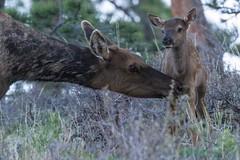 IMG_5399 cow and calf elk (starc283) Tags: starc283 flickr flicker forest wildlife elk elkcalf cowelk nature naturesfinest naturewatcher colorado canon7d mountains rockymountains rockymountainnationalforest