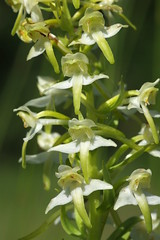 Greater Butterfly Orchids - Platanthera chlorantha (favmark1) Tags: platantherachlorantha greaterbutterflyorchids kentorchids wildorchids britishorchids kent orchids