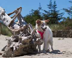 25/52 Nadja at Coos Bay (utski7) Tags: 52weeksfordogs nadja coosbayoregon oregon summervacation coolerweather notarizona beach dog driftwood beachbum summer2019 june2019 log dunes pines