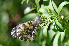 9506_butterfly (Realmantis) Tags: butterfly macro bug invertebrate wildlife