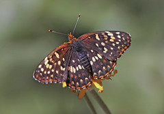Edith's Checkerspot (Euphydryas editha) (Ron Wolf) Tags: dutchflat edithscheckerspot euphydryaseditha lepidoptera nymphalidae sierra butterfly insect montane nature wildlife california explore