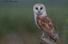 Barn Owl (Last Light) (KJB Photography.) Tags: barn owl post farmland fenland wetland barns late night