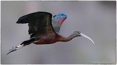 Glossy Ibis (RKop) Tags: circlebpreserve florida raphaelkopanphotography d500 600mmf4evr 14xtciii