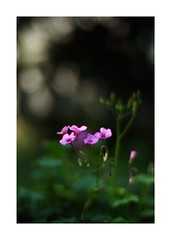 This work is 13/15 works taken on 2019/5/12 (shin ikegami) Tags: sony ilce7m2 sonyilce7m2 a7ii 50mm carlzeiss sonnar csonnar50mmf15 tokyo sonycamera photo photographer 単焦点 iso800 ndfilter light shadow 自然 nature 玉ボケ bokeh depthoffield naturephotography art photography japan earth asia