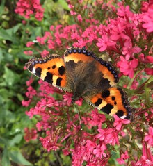 Small Tortoiseshell butterfly (Martellotower) Tags: small tortoiseshell butterfly