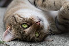 Need hug (Géraldine'') Tags: cat chat animal eyes regard douceur pet feline kitty closeup