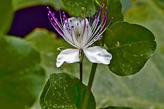 Fiore di cappero (RoLiXiA) Tags: sardegna sardinia sardaigne sardinien cerdeña fiori cappero effimero capr macro nikond90 sigma105