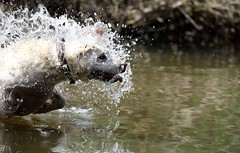 Splash... (Nora077) Tags: dog labrador 52weeksfordogs summer water noratoth